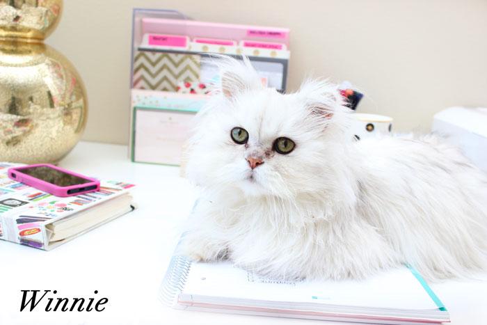 Winnie - Chinchilla Persian