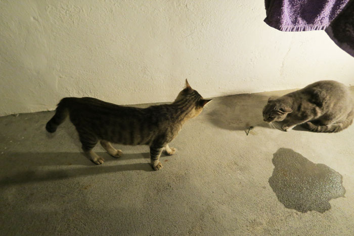 30.-cats-santorini
