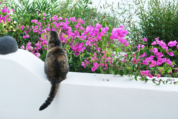 37.-cat-visitor-santorini