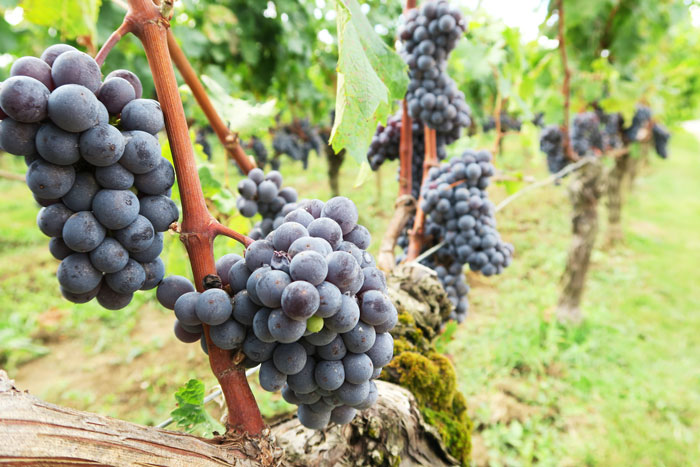 chateau-de-candale-grapes