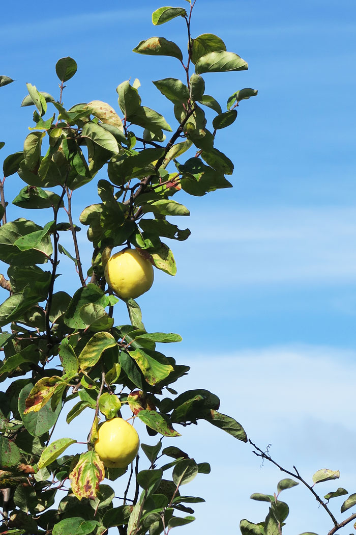 creon---wild-lemon-trees